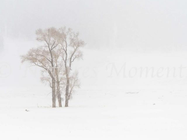 Bronzed Aspens in Snow