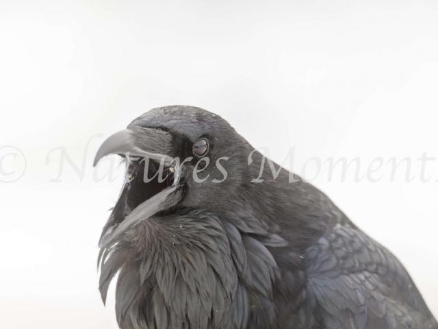Raven - Caw