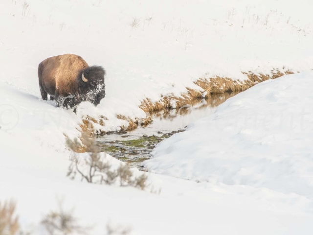 Bison - Searching the Stream for Food