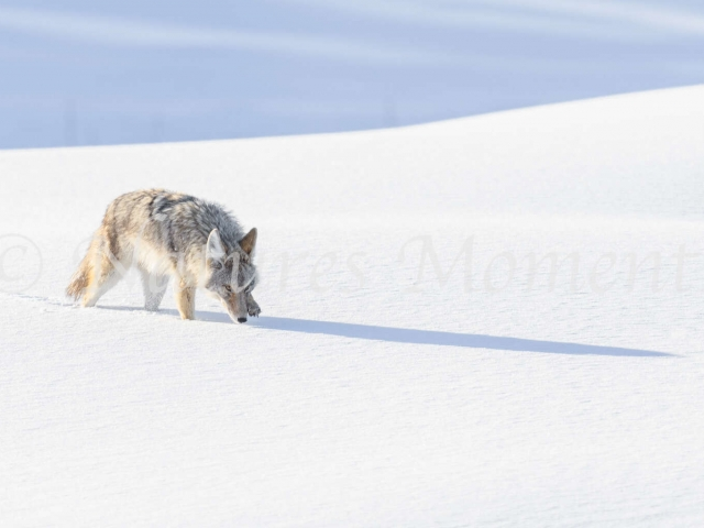 Coyote - Hunter