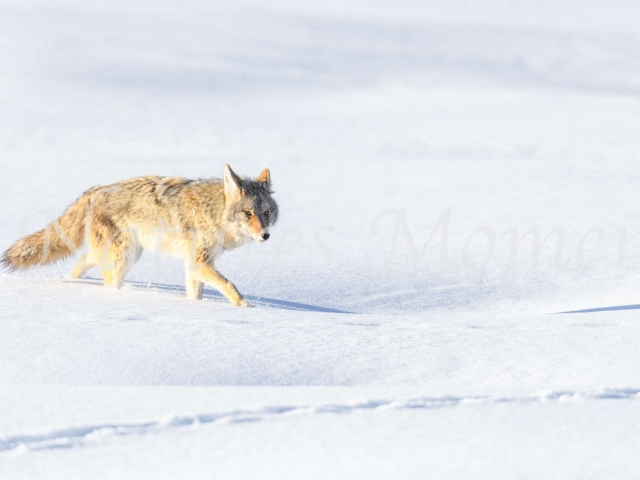 Coyote - Following the Trail