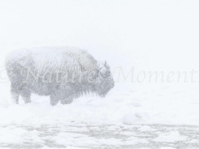 Bison - Cold Mist
