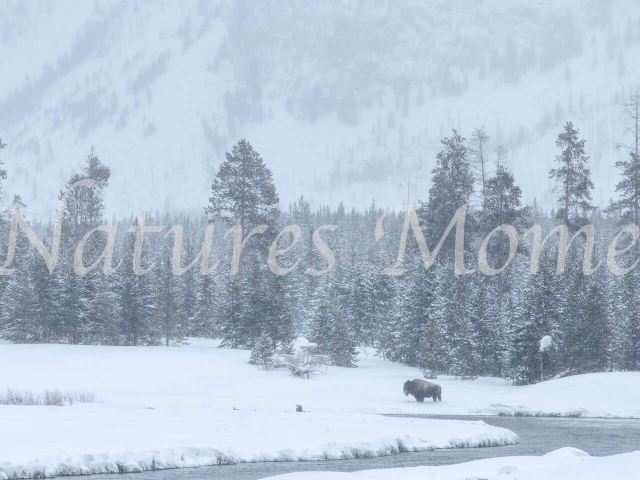 Bison at Madison River Overlook