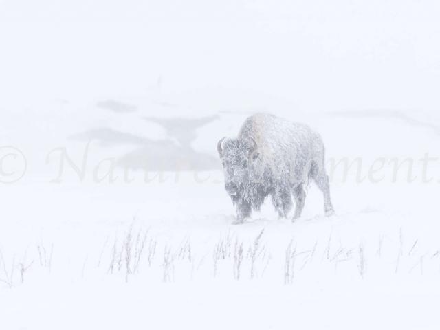 Bison - Frozen Coat