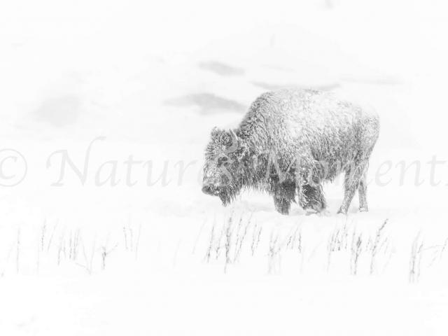 Bison - Monochrome