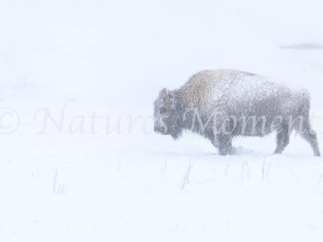 Bison - Ice Coat