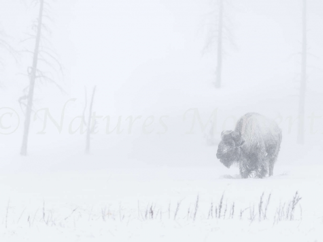 Bison - In Amongst the Trees