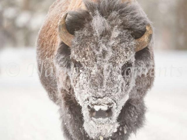 Bison - Snow Make-up