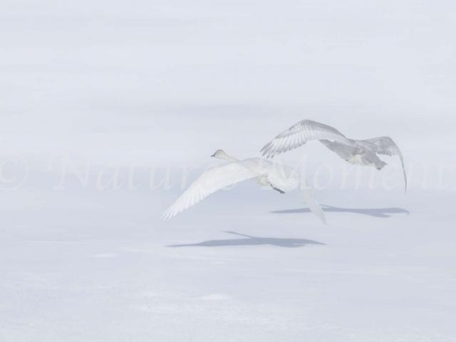 Trumpeter Swan - Take Off