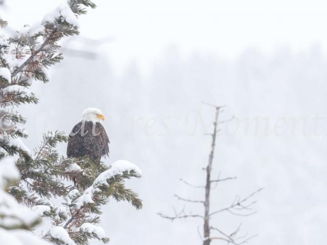Hayden Valley - Bald Eagle in Tree