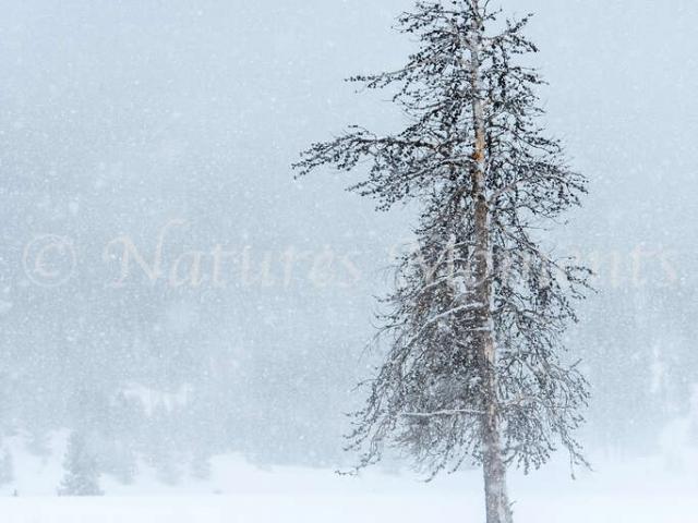 Lone Tree at Lower Geyser Basin