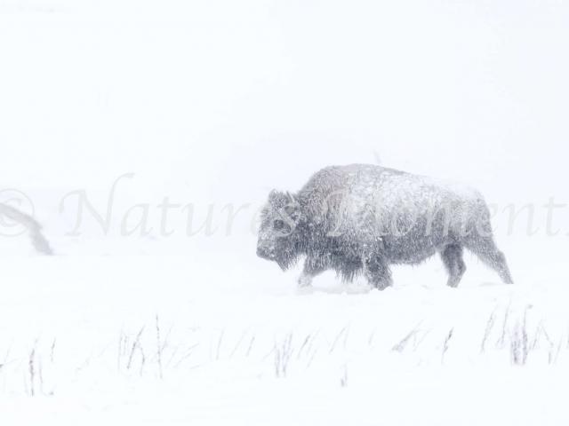 Bison - In the Blizzard