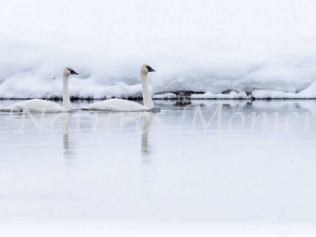 Trumpeter Swan - Cold River
