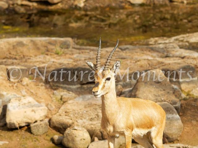 Indian Gazelle - Ranthambore