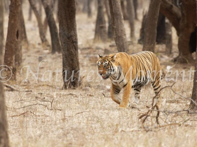 Bengal Tiger - Out of the Woods