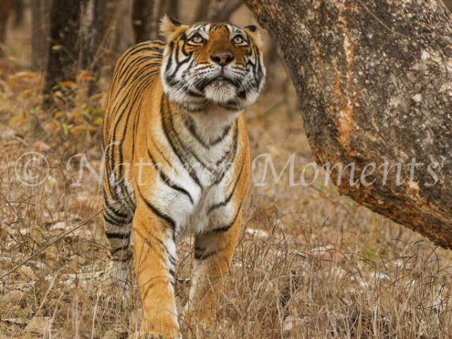 Bengal Tiger - Ready to Scent