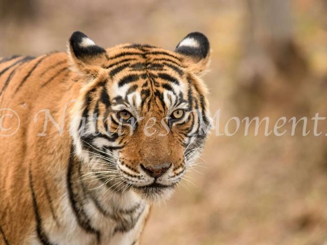 Bengal Tiger - Portrait