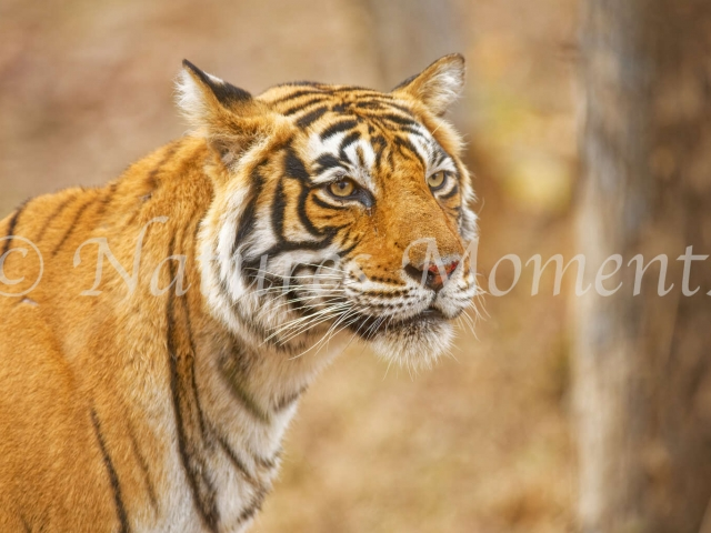 Bengal Tiger - Portrait by the Tree