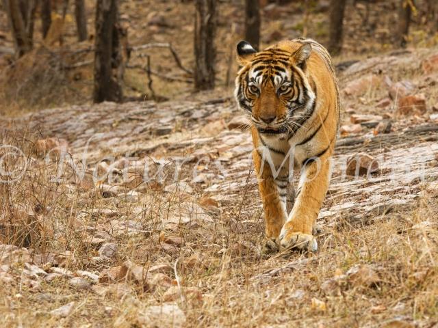 Bengal Tiger - Best Foot Forward