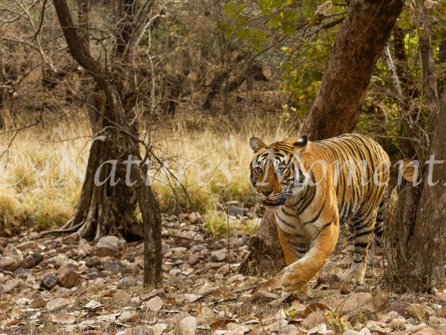 Bengal Tiger - From Between the Trees