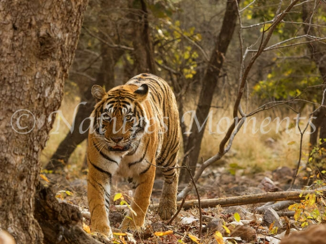 Bengal Tiger - Approaching the Rocks