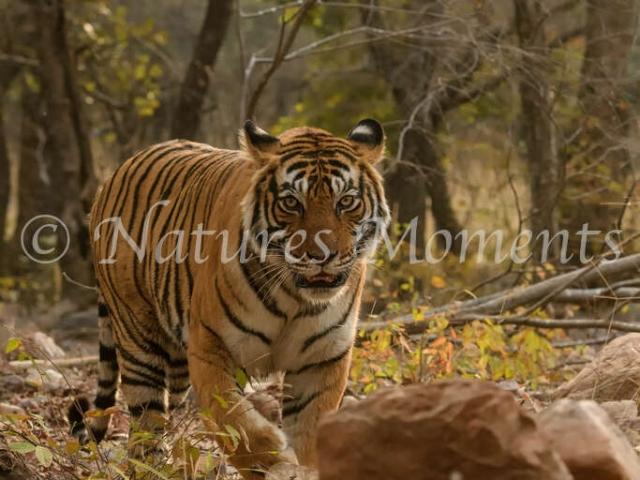 Bengal Tiger -  Im Coming Through