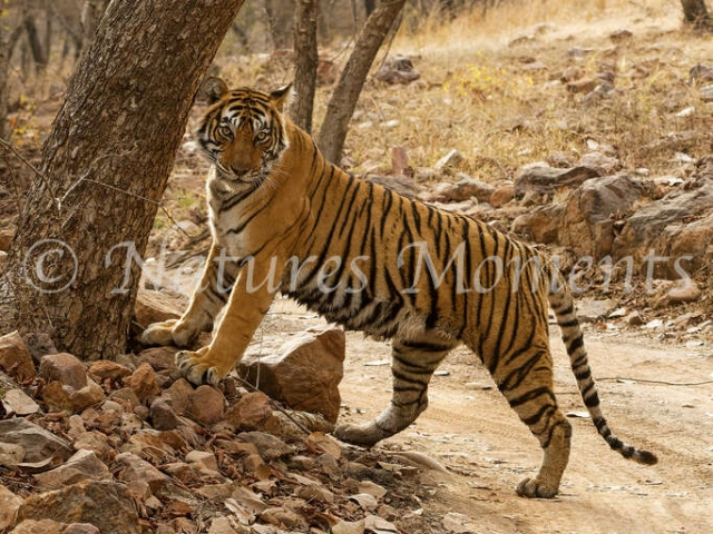 Bengal Tiger - Look and See