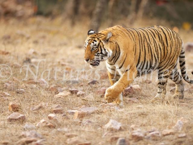 Bengal Tiger - No Worries