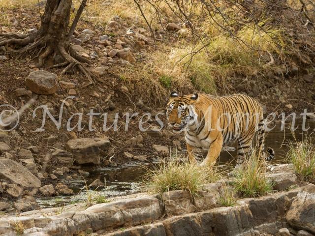 Bengal Tiger - Rock Stalker