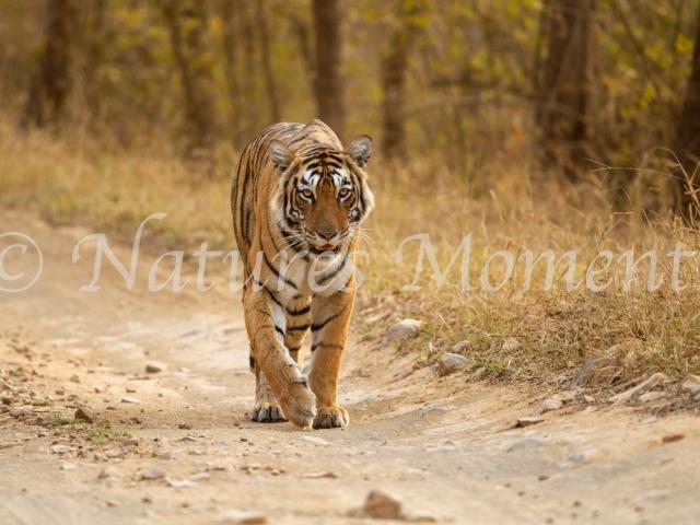 Bengal Tiger - Road Walker