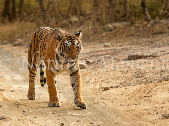 Bengal Tiger - Afternoon Stroll