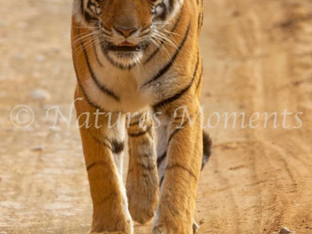 Bengal Tiger - Walk the Golden Path