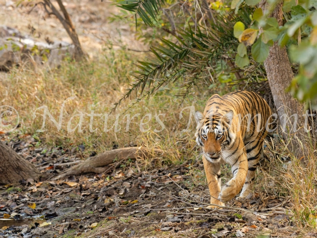 Bengal Tiger - Gently Stepping Forward