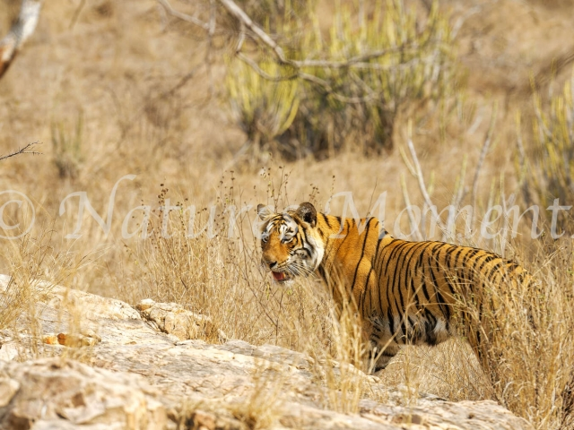 Bengal TIger - Pause for Thought