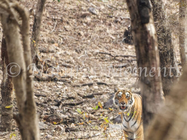 Bengal Tiger - Appear from Behind the Tree
