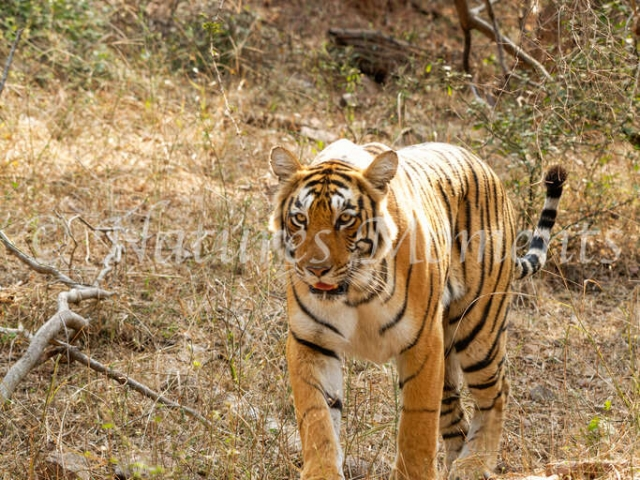 Bengal Tiger - Moving Through the Undergrowth
