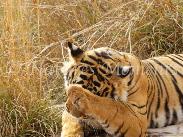 Bengal Tiger - No More Photos