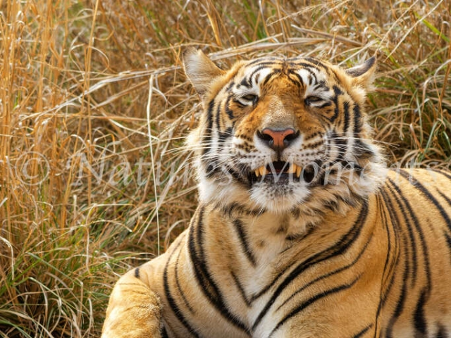 Bengal Tiger - Cheeky Grin