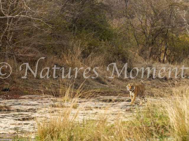 Bengal Tiger - Dry River Walk