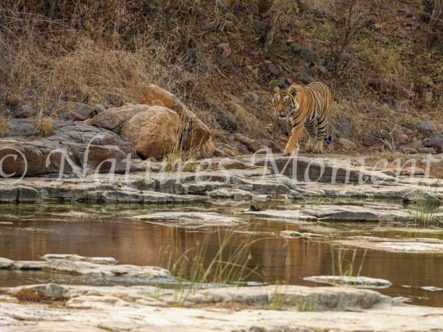 Bengal Tiger - Heading to the Water