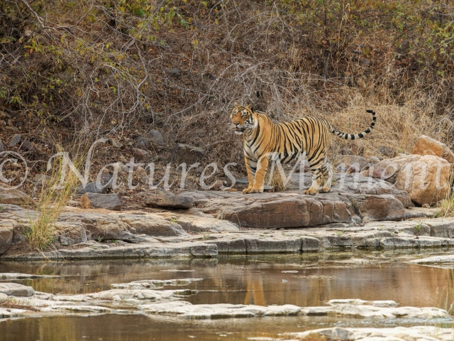 Bengal Tiger - Stand by the Water