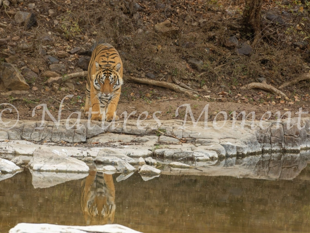 Bengal Tiger - Reflecting Stance