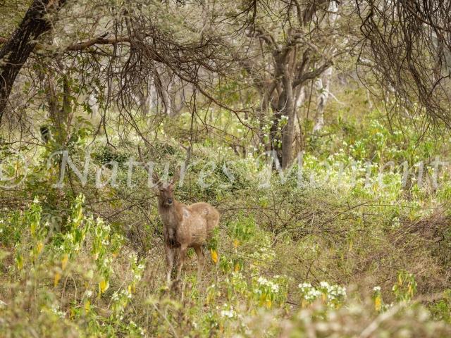 Sambar - Alert In the Forest
