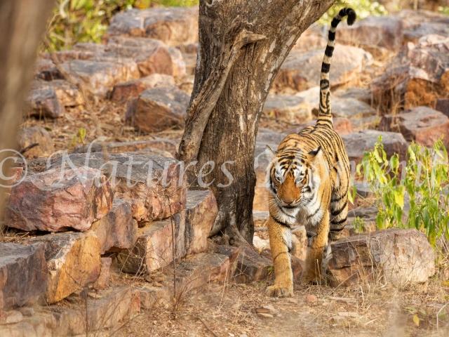 Bengal Tiger - Through the Rocks