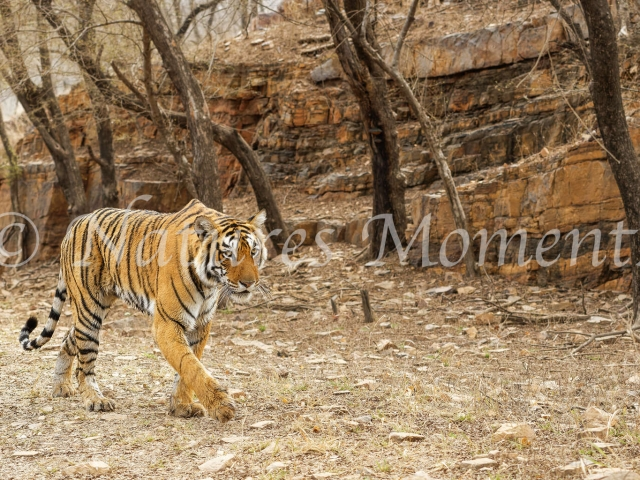 Bengal Tiger - On the Move