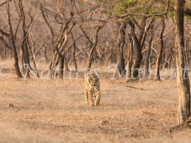 Bengal Tiger - Walk with Intent