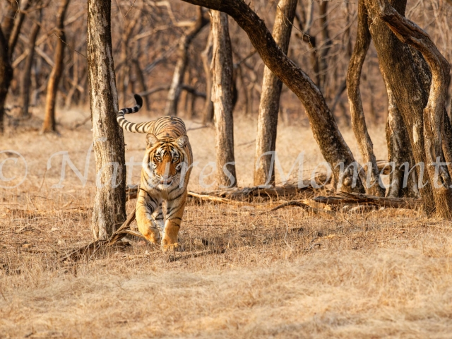 Bengal Tiger - Scenting on the Move
