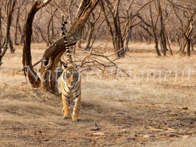 Bengal Tiger - Tail Up!