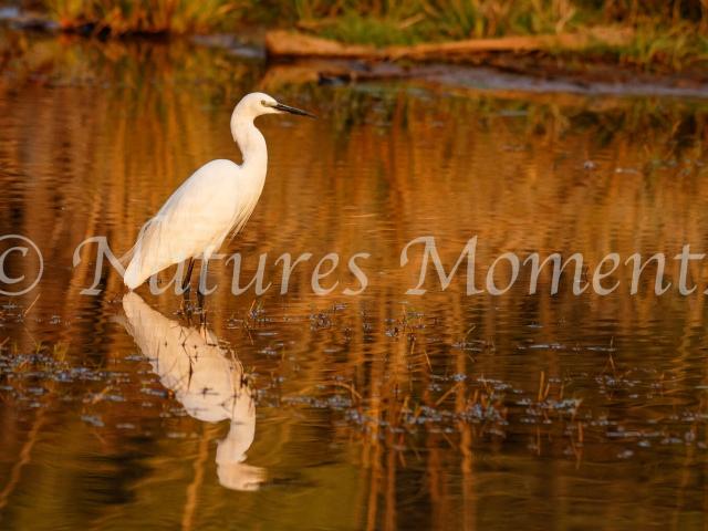 Intermediate Egret - Golden Reflection