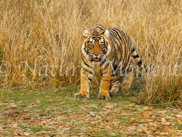 Bengal Tiger - Emerge from the Grass